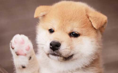 このこのごはん柴犬の子犬